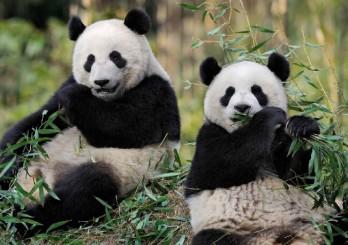 panda-zoo-beauval